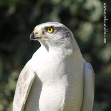 2017.01.29-albidus pure white male zenith goshawklife 002