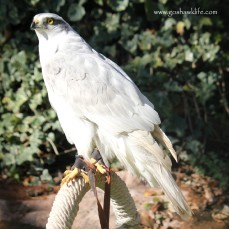 2017.01.29-albidus pure white male zenith goshawklife 004