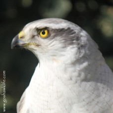 2017.01.29-albidus pure white male zenith goshawklife 014