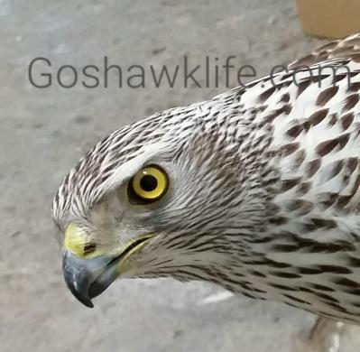 Azor silver goshawklife.com