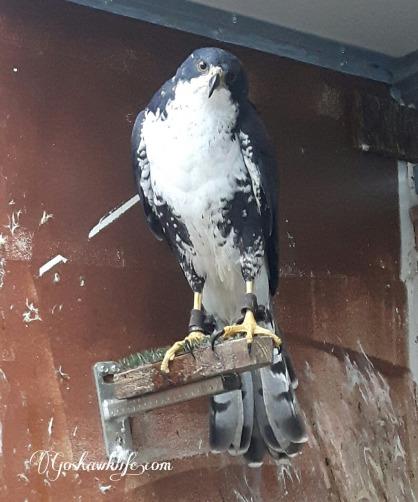black sparrowhawk barcelona comprar gavilan negro 03