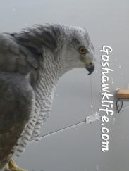Cetreria azor gosgawklife.com