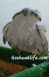 Falconry goshawk goshawklife.com