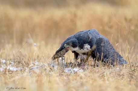 g black sparrowhawk barcelona comprar gavilan negro 01