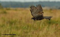 g black sparrowhawk barcelona comprar gavilan negro 03