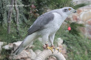 Icon-Goshawklife azor silver albidus goshawk 02