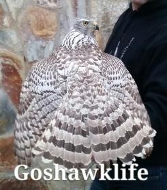 Silver albidus male goshawklife.com