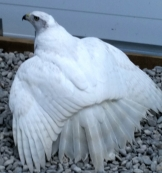 White albidus goshawklife.com